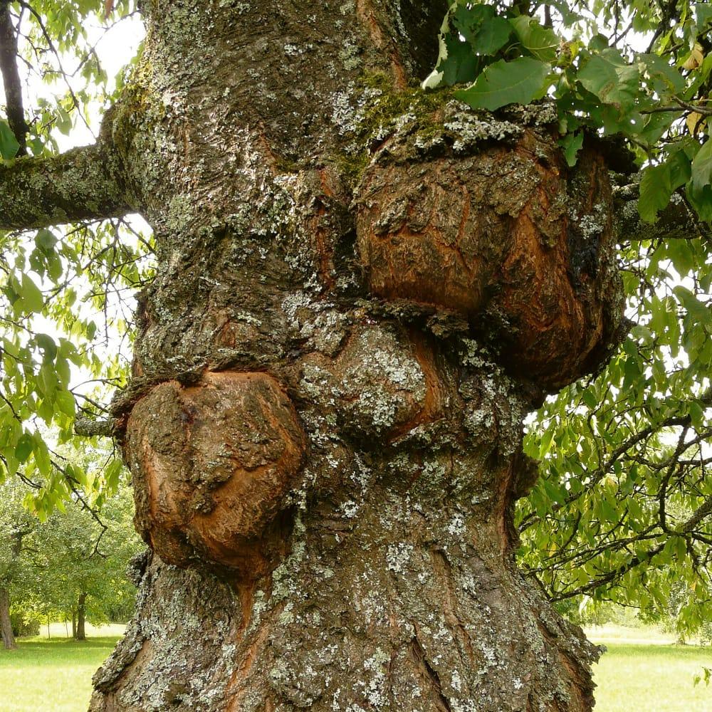 Baum steht auf Wasserader und hat am Stamm Wucherungen